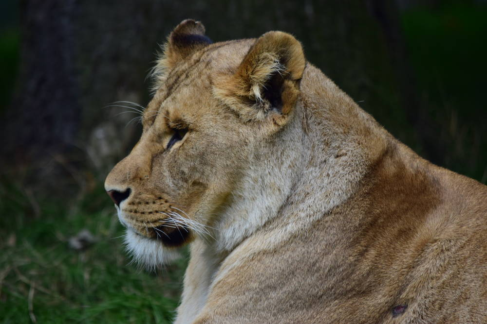 Knowsley Lioness