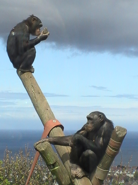 Llandudno Monkey Business