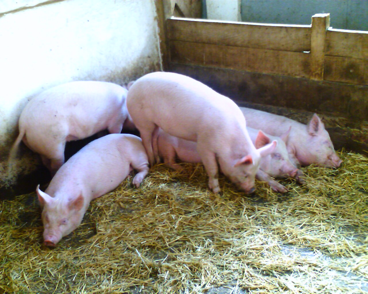 Tatton Pigs